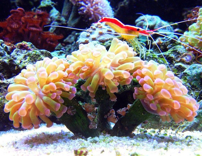corals inverts - euphyllia parancora - hammer coral, branching stocking in 45 gallons tank - branching hammer