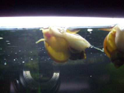 Rated #10: Corals Inverts - Pomacea Bridgesii - Golden Apple Snail Stocking In 55 Gallons Tank - Gold Mystery Snail