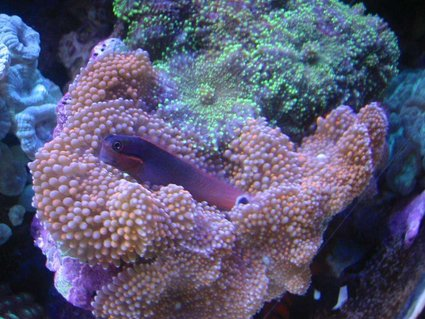 Rated #25: Corals Inverts - Ricordea Florida - Ricordea Mushroom Stocking In 55 Gallons Tank - Tail Spot Blennie on Pink Ricordias
