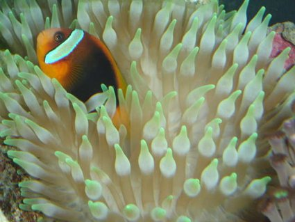 Rated #24: Corals Inverts - Entacmaea Quadricolor - Bulb Anemone Stocking In 90 Gallons Tank - CINNAMON CLOWNFISH IN MY BTA