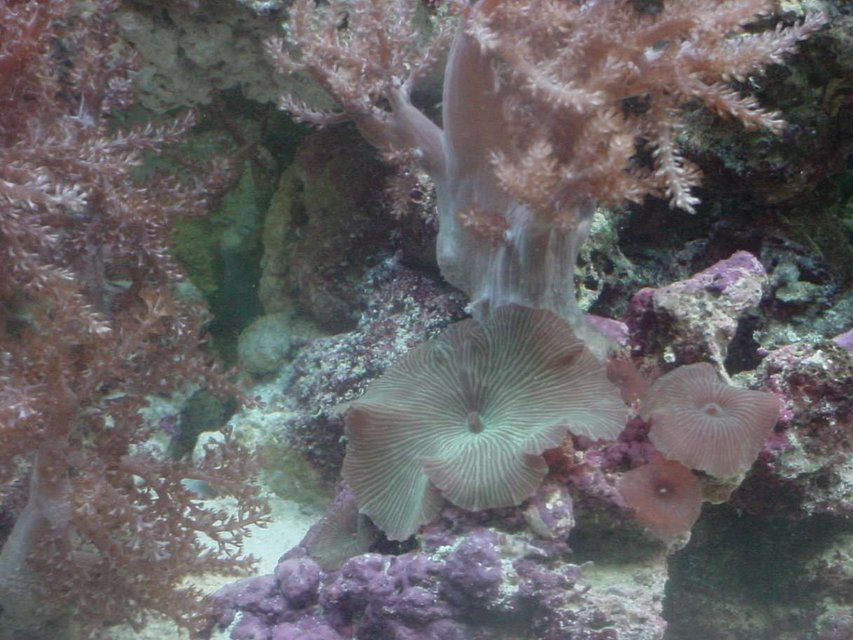 Rated #72: Corals Inverts - Actinodiscus Sp. - Red Mushroom Stocking In 55 Gallons Tank - Shroons