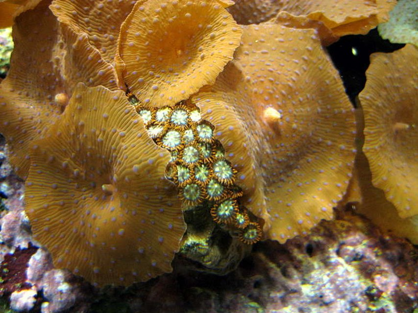 Rated #13: Corals Inverts - Zoanthus Sp. - Starburst Zoanthids Stocking In 52 Gallons Tank - one of my favorite zoanthus.