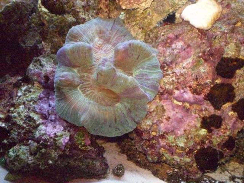Rated #41: Corals Inverts - Trachyphyllia Geoffroyi - Brain Coral, Trachyphyllia Stocking In 55 Gallons Tank - My first reef tan..I love my brain!