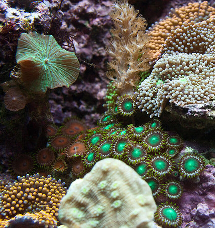 Rated #1: Corals Inverts - Zoanthus Sp. - Colony Polyp Stocking In 37 Gallons Tank - Closeup section of my tank