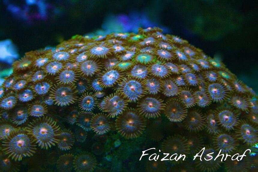 Rated #4: Corals Inverts - Zoanthus Sp. - Colony Polyp, Assorted Stocking In 150 Gallons Tank - Zoo's