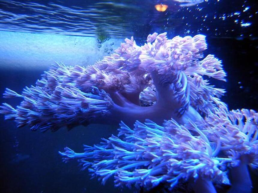 Rated #10: Corals Inverts - Xenia Sp. - White Pom Pom Xenia Stocking In 46 Gallons Tank - White Silver Pom Pom Xenia