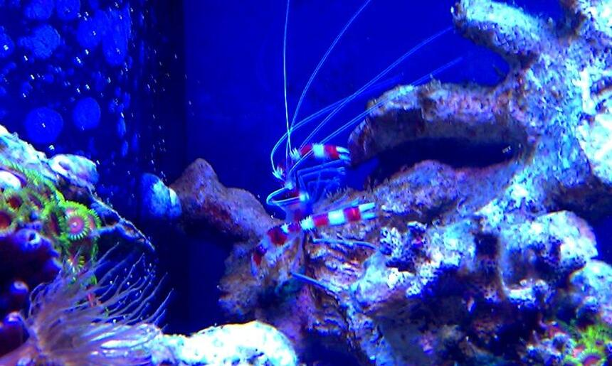 Rated #9: Corals Inverts - Stenopus Hispidus - Banded Coral Shrimp Stocking In 72 Gallons Tank - Steve the Red Banded Shrimp