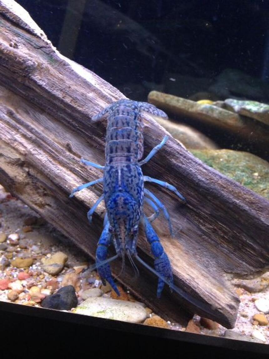 Rated #4: Corals Inverts - Cherax Destructor - Blue Knight Lobster Stocking In 120 Gallons Tank - beautiful marbled crayfish. have no idea why they are blue. i also have some that are red.