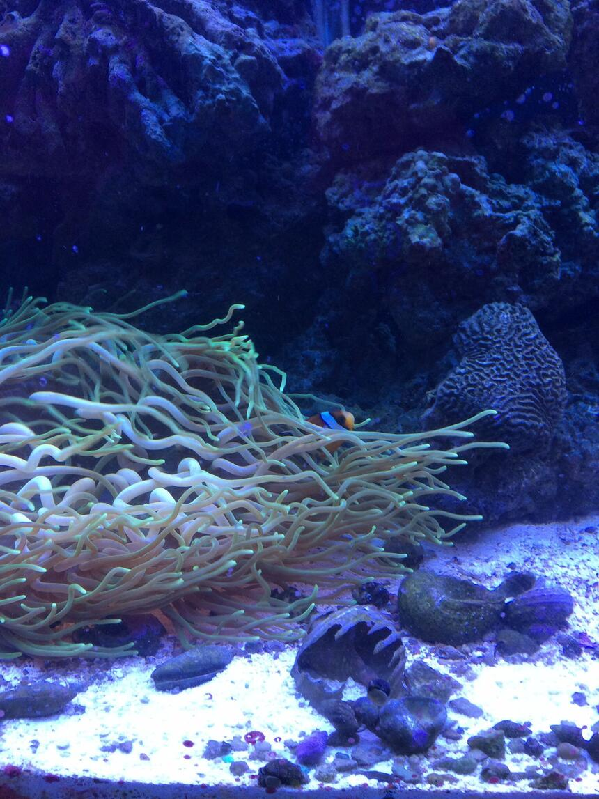 Rated #3: Corals Inverts - Macrodactyla Doreensis - Long Tentacle Anemone Stocking In 75 Gallons Tank - Salt tank after 6 mo