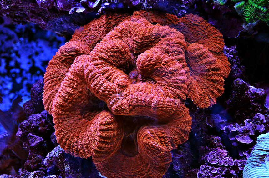 Rated #1: Corals Inverts - Lobophyllia Hemprichii - Brain Coral Stocking In 240 Gallons Tank - Red Lobo