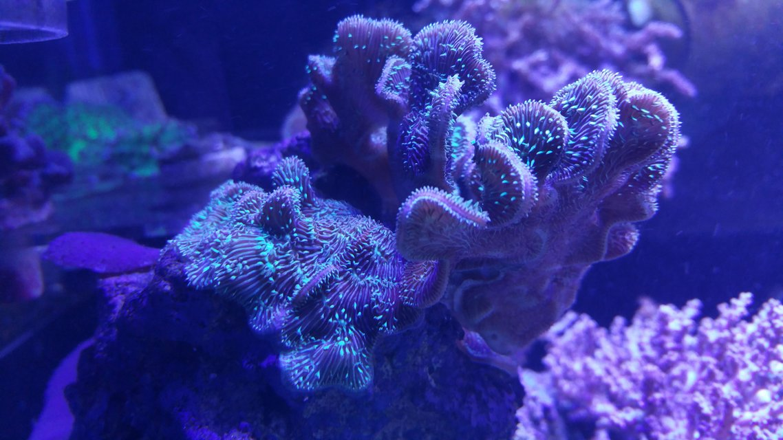 Rated #1: Corals Inverts Stocking In 125 Gallons Tank - Pavona Coral