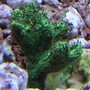 corals inverts - acropora sp. - german acropora stocking in 55 gallons tank - Acropora Frag