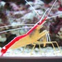 corals inverts - lysmata amboinensis - scarlet skunk cleaner shrimp stocking in 100 gallons tank - Lysmata amboinensis