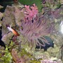 corals inverts - macrodactyla doreensis - long tentacle anemone, purple stocking in 36 gallons tank - theres a flame dart too.