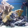 corals inverts - cladiella sp. - cauliflower colt coral stocking in 132 gallons tank - my aquarium13