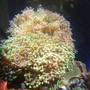 corals inverts - euphyllia paradivisa - frogspawn coral stocking in 150 gallons tank - euphyllia ledge of hammer and frogspawn
