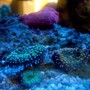 corals inverts - ricordea yuma - ricordea mushroom stocking in 150 gallons tank - ricordeas under actinics