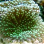 corals inverts - ricordea florida - ricordea mushroom stocking in 150 gallons tank - green ricordea florida