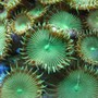 corals inverts - protopalythoa sp. - button polyp stocking in 160 gallons tank - Green button polyps