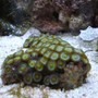 corals inverts - zoanthus sp. - green polyps stocking in 20 gallons tank - new
