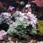 corals inverts - caulastrea furcata - candy cane coral stocking in 95 gallons tank - Love This Rock!!!