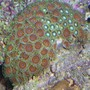 corals inverts - zoanthus sp. - atomic green zoanthids stocking in 110 gallons tank - coral pic