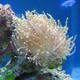 corals inverts - euphyllia glabrescens - torch coral stocking in 37 gallons tank - Torch coral