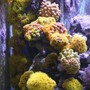 corals inverts - tubastrea faulkneri - yellow sun coral stocking in 400 gallons tank - Sun Coral Zone All fed Daily using Frozen Mysis and Cyclop-eeze to entice them out. Had some die back in the early days but now I've got the feeding sussed they are recovering very well and even new heads are growing.
