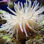 corals inverts - condylactis gigantea - condy anemone stocking in 40 gallons tank - Condy Anemone