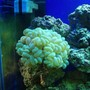 corals inverts - plerogyra sinuosa - bubble coral, green stocking in 125 gallons tank - green bubble coral