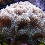 corals inverts - ricordea florida - ricordea mushroom stocking in 125 gallons tank - Ricordea in 125 reef