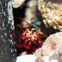 corals inverts - odontodactylus scyllarus - clown mantis shrimp stocking in 24 gallons tank - O. Scyllarus