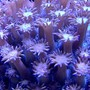 corals inverts - alveopora sp. - alveopora coral stocking in 100 gallons tank - ..