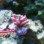 corals inverts - stylophora spp. - stylophora coral stocking in 75 gallons tank - Pink Stylophora