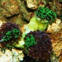 corals inverts - euphyllia paradivisa - frogspawn coral stocking in 55 gallons tank - Frogspawn
