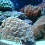 corals inverts - sarcophyton sp. - toadstool mushroom leather coral stocking in 35 gallons tank - corals
