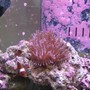 corals inverts - entacmaea quadricolor - rose anemone stocking in 125 gallons tank - Bubble Tip and Maroon Clown