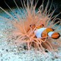 corals inverts - cerianthus membranacea - tube anemone stocking in 120 gallons tank - NO NEMMOOOO !!!!