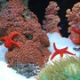 corals inverts - fromia sp. - red fromia starfish stocking in 60 gallons tank - New red zoos (IF YOU DO NOT LIKE OUR PICTURES THEN YOU DO NOT HAVE TO LOOK AT THEM, BUT VOTING 0 IS VERY NEGATIVE ON YOUR PART) PLEASE JUST MOVE ON - THANKS!!!!