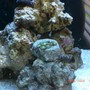 corals inverts - zoanthus sp. - atomic green zoanthids stocking in 6 gallons tank - my zoanthid