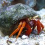 corals inverts - paguristes cadenati - scarlet reef hermit crab stocking in 90 gallons tank - Hermit Crab