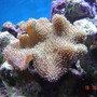 corals inverts - sarcophyton sp. - toadstool mushroom leather coral stocking in 185 gallons tank - My smaller toadstole