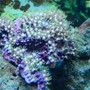 corals inverts - briareum sp. - starburst polyp stocking in 55 gallons tank - star polyps