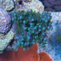 corals inverts - acropora tortuosa - blue tortuosa stocking in 75 gallons tank - Top Down shot of Blue Tortuosa