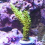 corals inverts - acropora yongei - bali green slimer stocking in 24 gallons tank - Neon green Acro