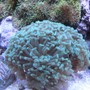 corals inverts - euphyllia paradivisa - frogspawn coral - branched stocking in 46 gallons tank - Corals