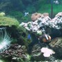 corals inverts - rhyzotrochus typus - white rhyzo stocking in 55 gallons tank - 55G