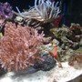 corals inverts stocking in 75 gallons tank - coral