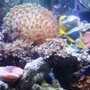 corals inverts - alveopora sp. - alveopora coral stocking in 46 gallons tank - clown fish with the new flowerpot coral
