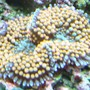 corals inverts - ricordea florida - ricordea mushroom, gold/orange (caribbean) stocking in 125 gallons tank - ricordia
